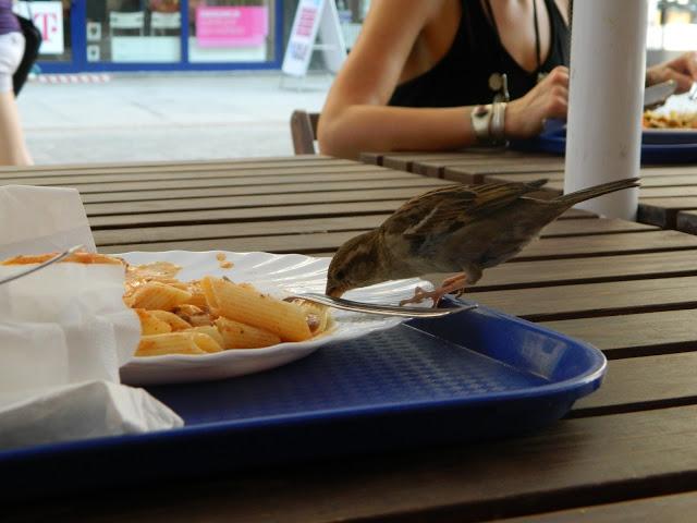 Польский воробей ест еду